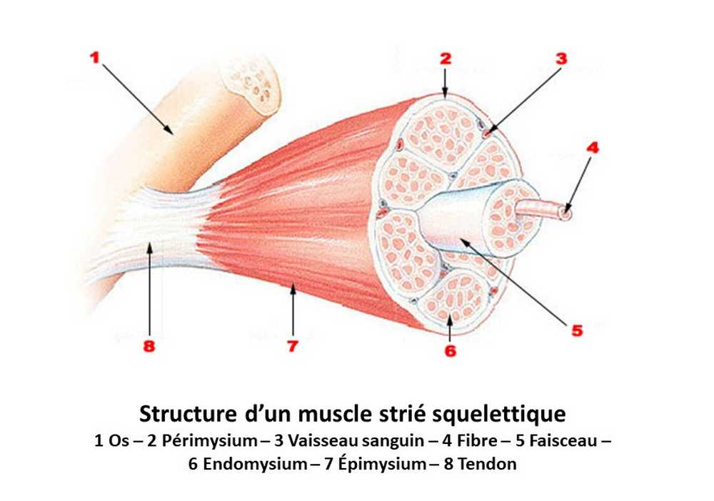 Structure d'un muscle strié squelettique