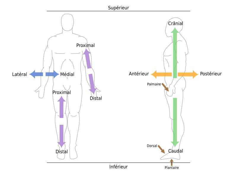 Indications de position anatomique. Source: Wikimedia Commons, par Travail personnel - CC BY-SA