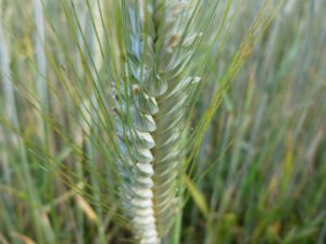 Avant le raffinage, le blé est un produit naturel. - Source: Wikimedia Commons, CC BY-SA