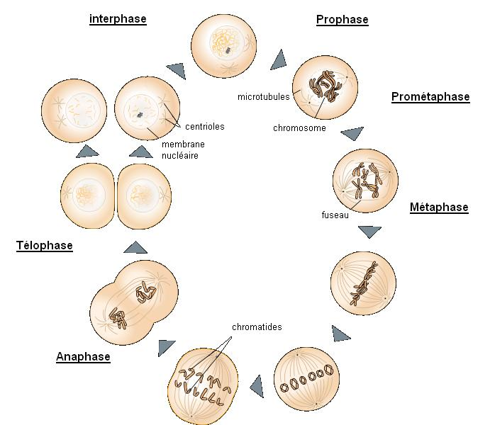 Phases mitose