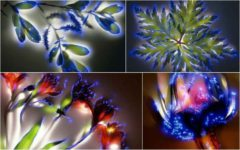 Plantes photographiées avec la technique Kirlian