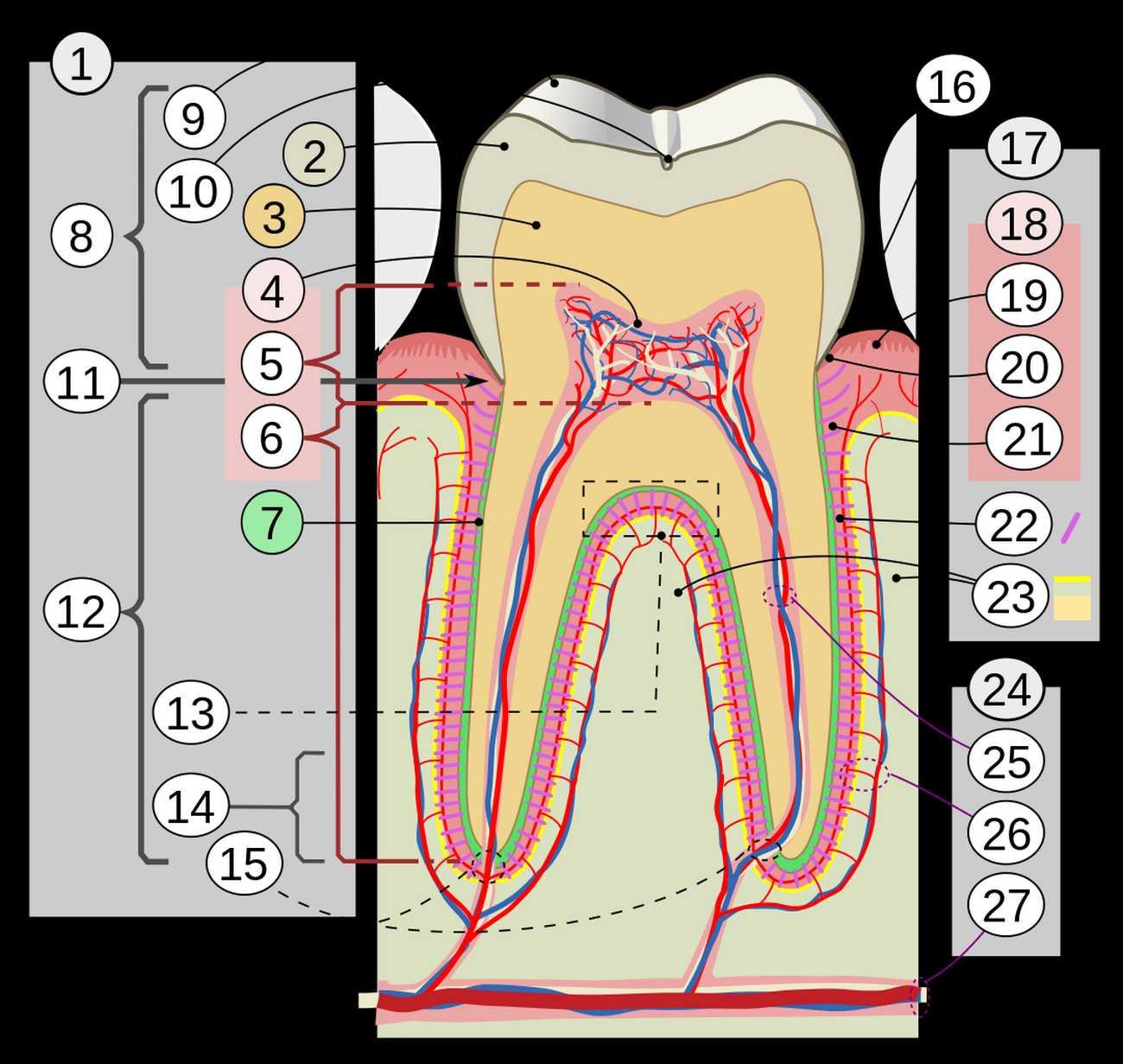 Schéma du tissu dentaire