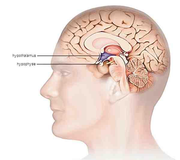 Hypophyse et Hypothalamus, Encyclopédie Larousse en ligne