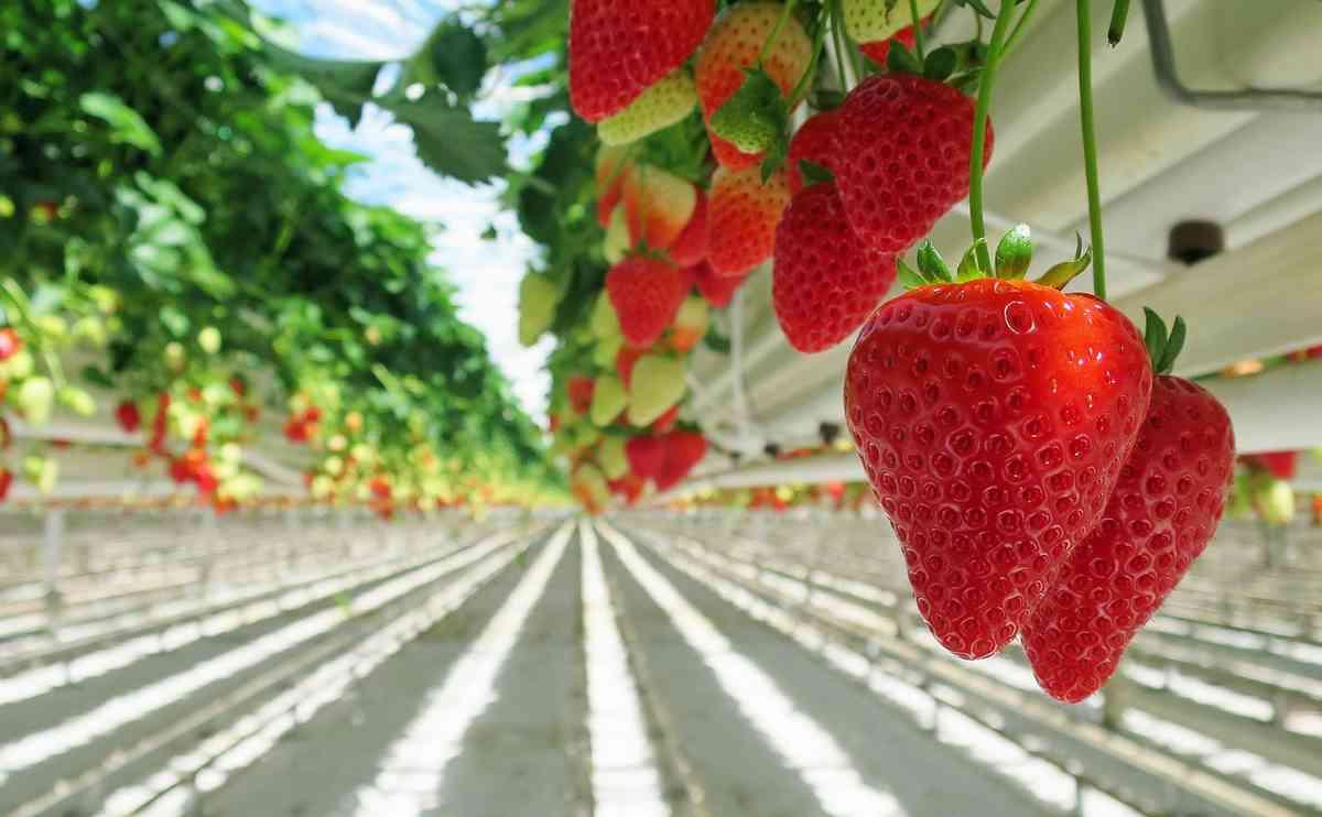 Comment ces fraises hors-sol pourraient posséder le même profil nutritif que les fraises biologiques en pleine terre, nourries par un humus vivant ?