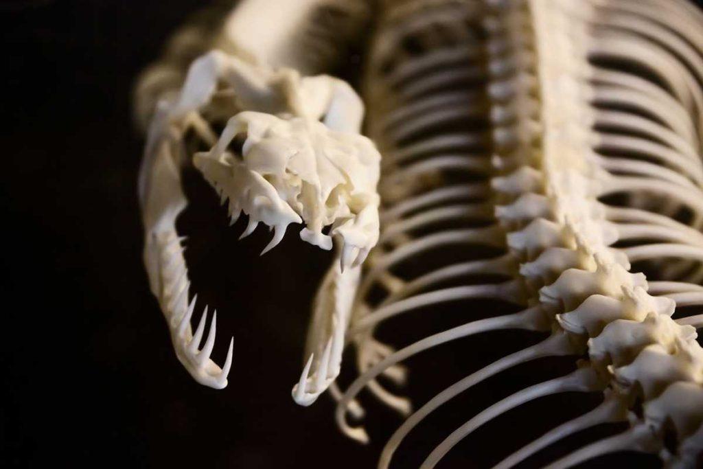 Squelette d'un serpent. Les os font partie du tissu conjonctif de soutien.