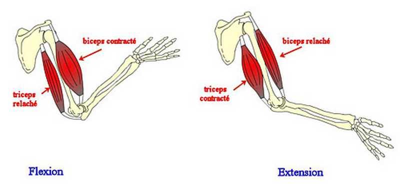 Flexion et Extension musculaire