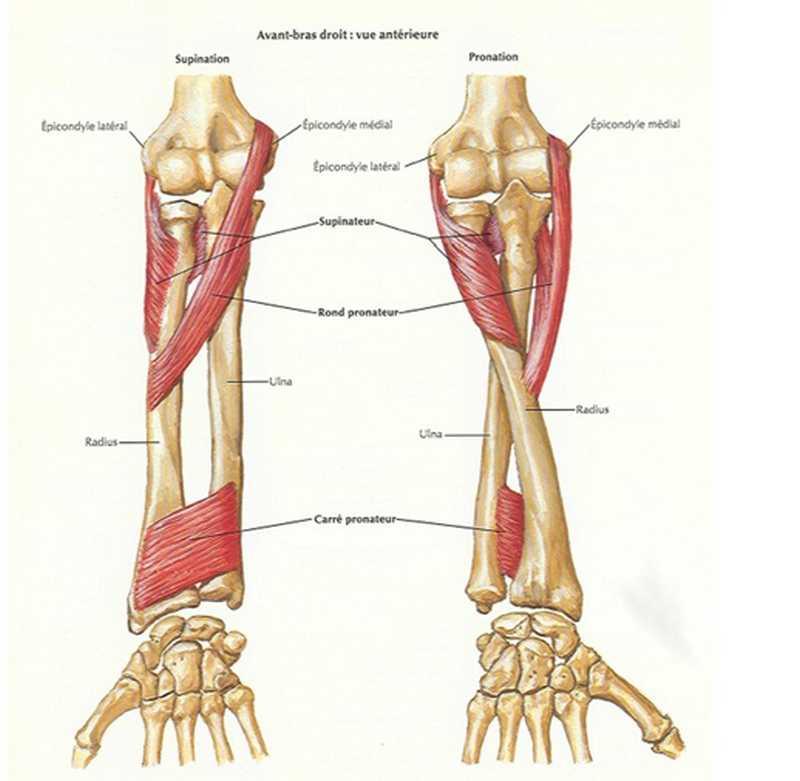 Rotateurs avant-bras