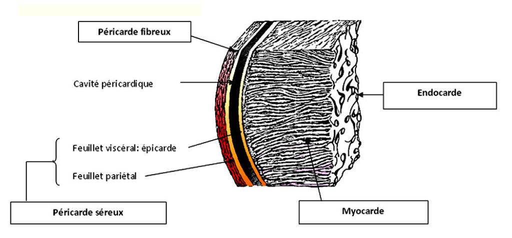 Structure de la paroi cardiaque
