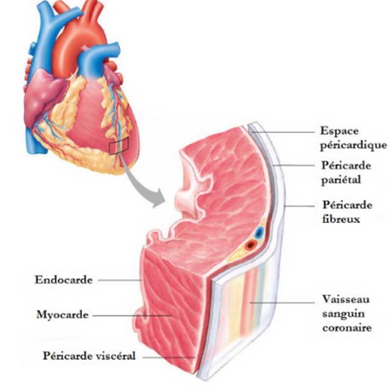 Tissu du myocarde