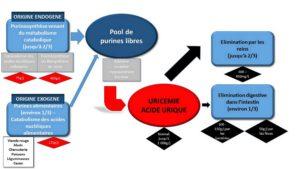 L'hyperuricémie ou un taux d' acide urique trop élevé – Résultat d'une surcharge en purines