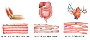 Les muscles lisses ou muscles viscéraux – Les muscles de nos organes