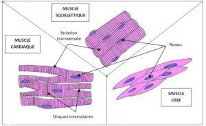 Structure des cellules musculaires
