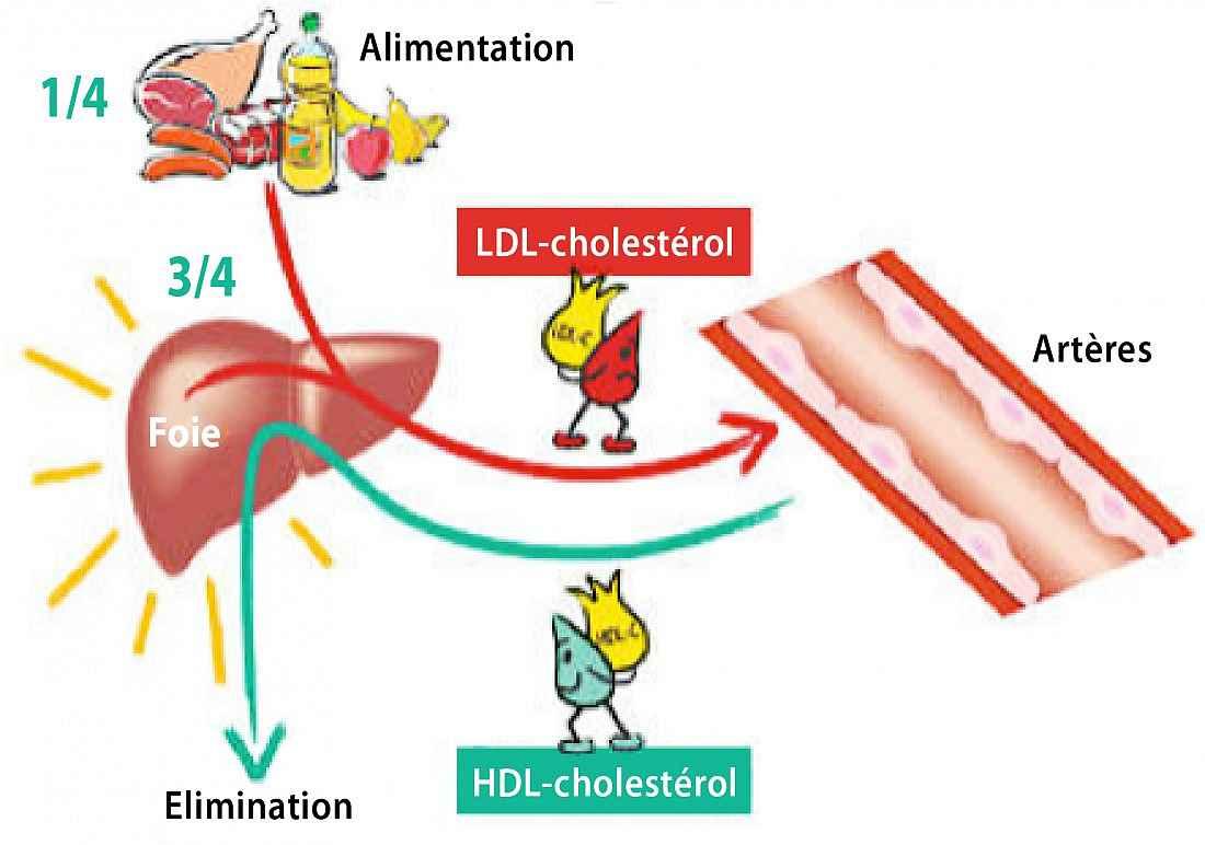 Métabolisme du cholestérol