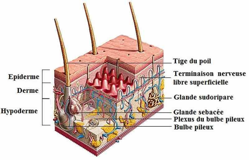 Structure histologique de la peau