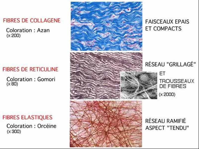Fibres du tissu conjonctif