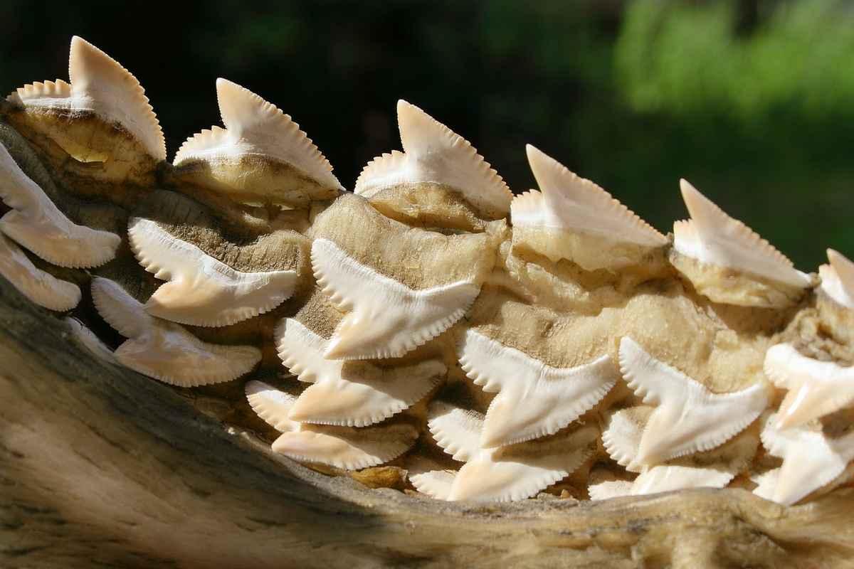 Mâchoire inférieure d'un requin