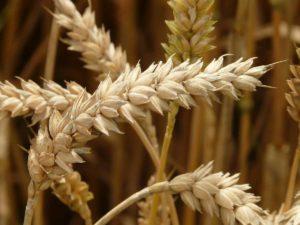 Le blé fait partie des aliments soumis aux normes ISO 22000.