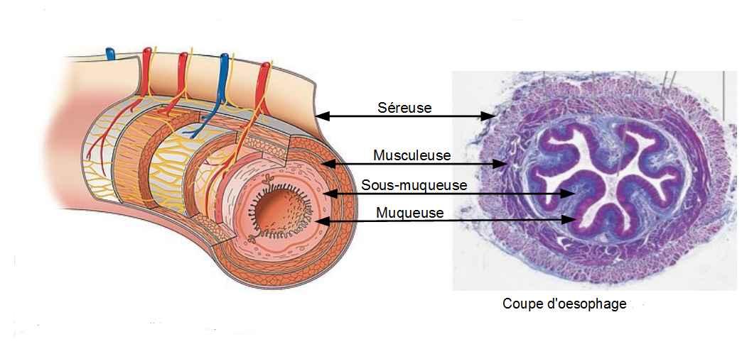 Histologie tube digestif