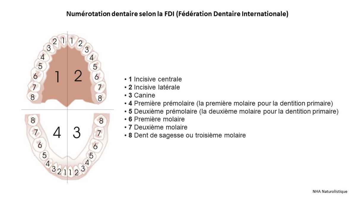 Numérotation dentaire